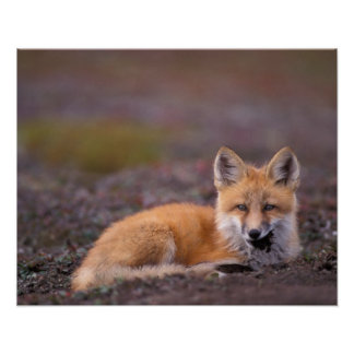 NA, USA, Alaska, red fox, Vulpes vulpes, in fall Poster