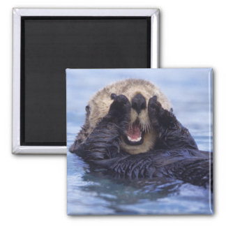 NA, USA, Alaska. Sea otters are the largest 2 Inch Square Magnet