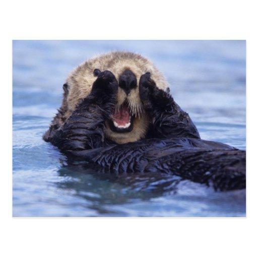 NA, USA, Alaska. Sea otters are the largest Post Card