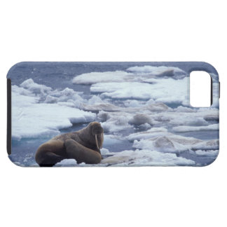 NA, USA, Alaska, Walrus and young on ice in iPhone 5 Cases