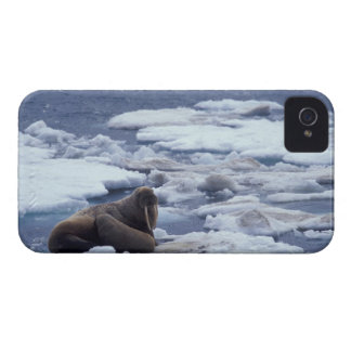 NA, USA, Alaska, Walrus and young on ice in iPhone 4 Covers