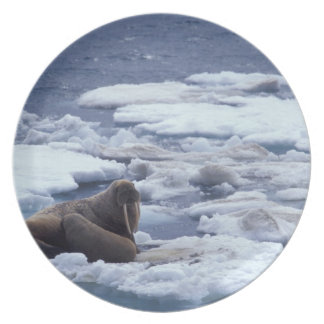NA, USA, Alaska, Walrus and young on ice in Plate