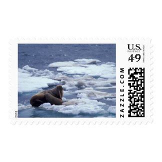 NA, USA, Alaska, Walrus and young on ice in Postage Stamp