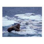 NA, USA, Alaska, Walrus and young on ice in Post Cards
