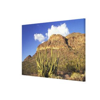 NA, USA, Arizona. Organ Pipe Cactus National 2 Canvas Print