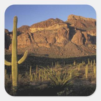 NA, USA, Arizona. Organ Pipe Cactus National 2 Square Sticker