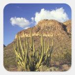 NA, USA, Arizona. Organ Pipe Cactus National 3 Square Sticker