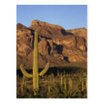 NA, USA, Arizona. Organ Pipe Cactus National Postcard