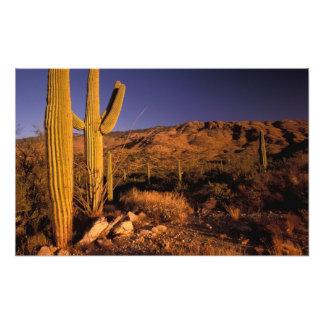 NA USA Arizona Saguaro National Monument Photographic Print