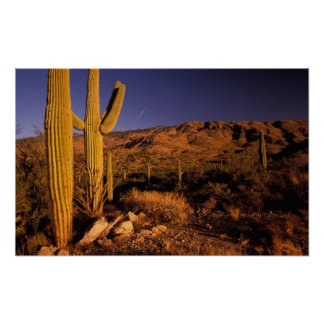 NA USA Arizona Saguaro National Monument Print