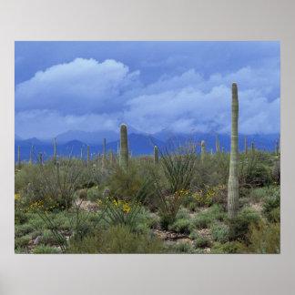 NA USA Arizona Saguaro National Monument Poster