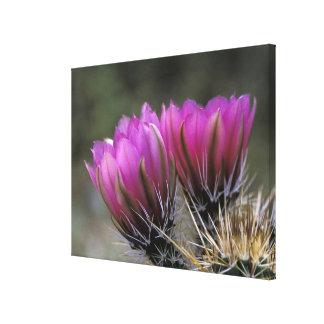 NA, USA, Arizona, Sonoran Desert. Hedgehog Canvas Print