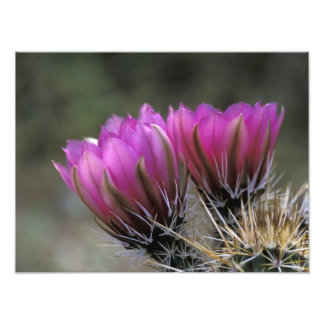 NA, USA, Arizona, Sonoran Desert. Hedgehog Photo Print