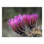 NA, USA, Arizona, Sonoran Desert. Hedgehog Photo Print