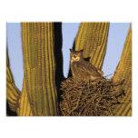 NA, USA, Arizona, Tucson. Great horned owl on Photo Print