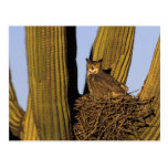 NA, USA, Arizona, Tucson. Great horned owl on Postcard