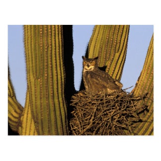 NA, USA, Arizona, Tucson. Great horned owl on Postcard