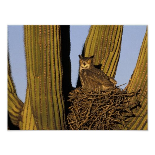 NA, USA, Arizona, Tucson. Great horned owl on Poster