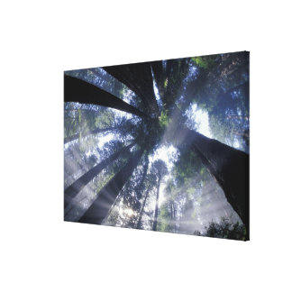 NA USA California Del Norte Redwoods State Gallery Wrapped Canvas