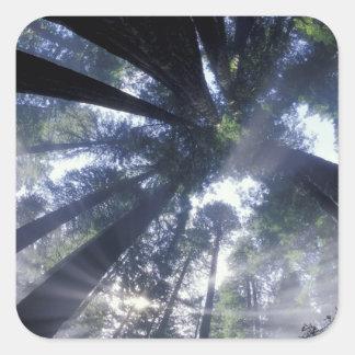 NA, USA, California, Del Norte Redwoods State Square Sticker