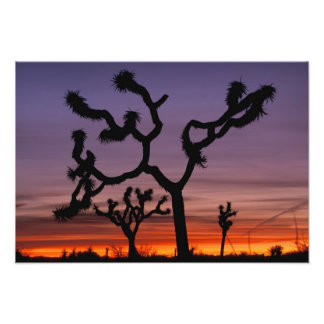 NA, USA, California. Joshua Tree National Photo Print