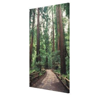 NA, USA, California, Marin County, Muir Woods Canvas Print
