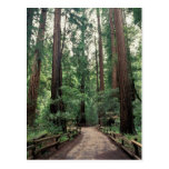 NA, USA, California, Marin County, Muir Woods Postcard