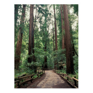 NA, USA, California, Marin County, Muir Woods Postcard
