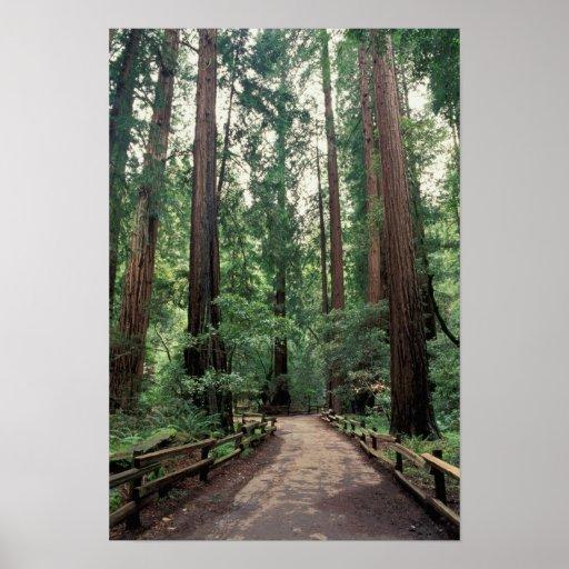 NA, USA, California, Marin County, Muir Woods Poster