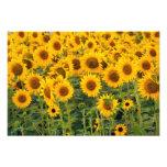 Na, USA, Colorado, Sunflowers Photo Print