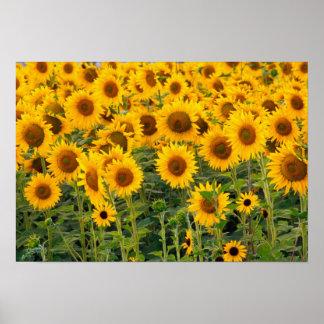 Na, USA, Colorado, Sunflowers Poster