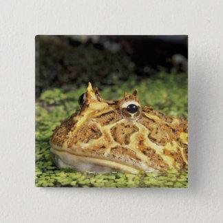 NA, USA, Florida, Miami.  Brazilian horned frog Button