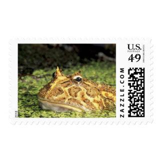 NA, USA, Florida, Miami.  Brazilian horned frog Postage