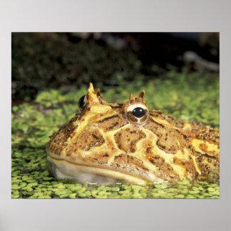 NA, USA, Florida, Miami.  Brazilian horned frog Poster