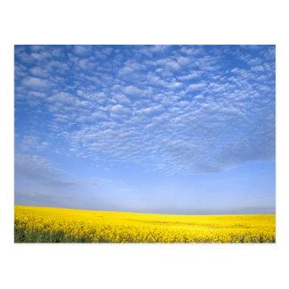 Na, USA, ID, Grangeville, Field of Canola Crop Postcard