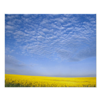 Na, USA, ID, Grangeville, Field of Canola Crop Poster