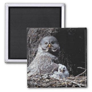 NA, USA, Idaho, Teton Valley. Great gray owl Magnet