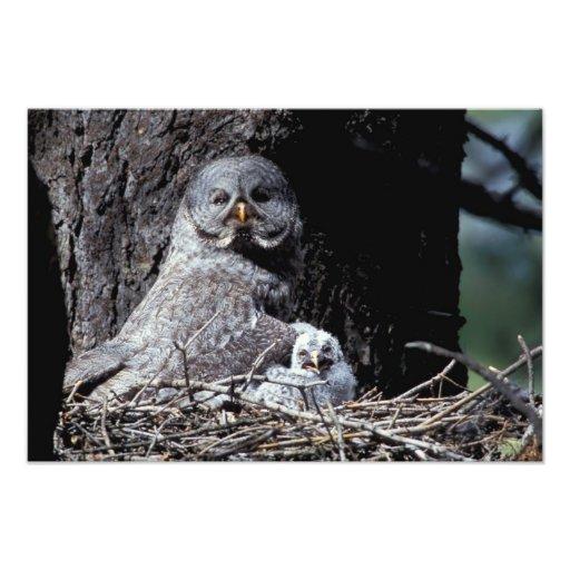 NA, USA, Idaho, Teton Valley. Great gray owl Photograph