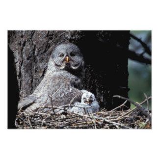 NA, USA, Idaho, Teton Valley. Great gray owl Photo Print