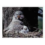NA, USA, Idaho, Teton Valley. Great gray owl Postcard