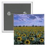 NA, USA, Kansas, Sunflower crop 2 Inch Square Button