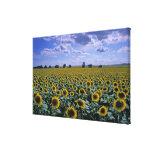 NA, USA, Kansas, Sunflower crop Canvas Print