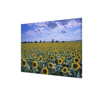 NA, USA, Kansas, Sunflower crop Canvas Print