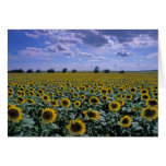 NA, USA, Kansas, Sunflower crop Greeting Card