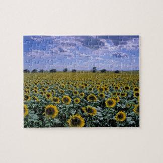 NA, USA, Kansas, Sunflower crop Jigsaw Puzzle