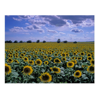 NA, USA, Kansas, Sunflower crop Postcard