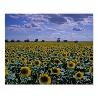 NA, USA, Kansas, Sunflower crop Poster