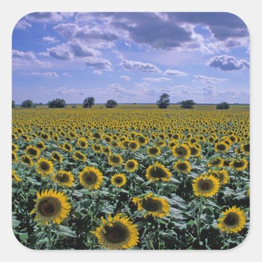 NA, USA, Kansas, Sunflower crop Square Sticker