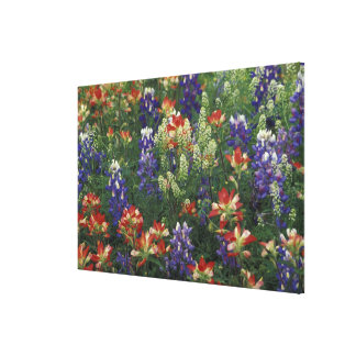 NA, USA, Texas, near Marble Falls, Paint brush Canvas Print