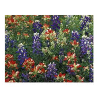 NA, USA, Texas, near Marble Falls, Paint brush Post Card